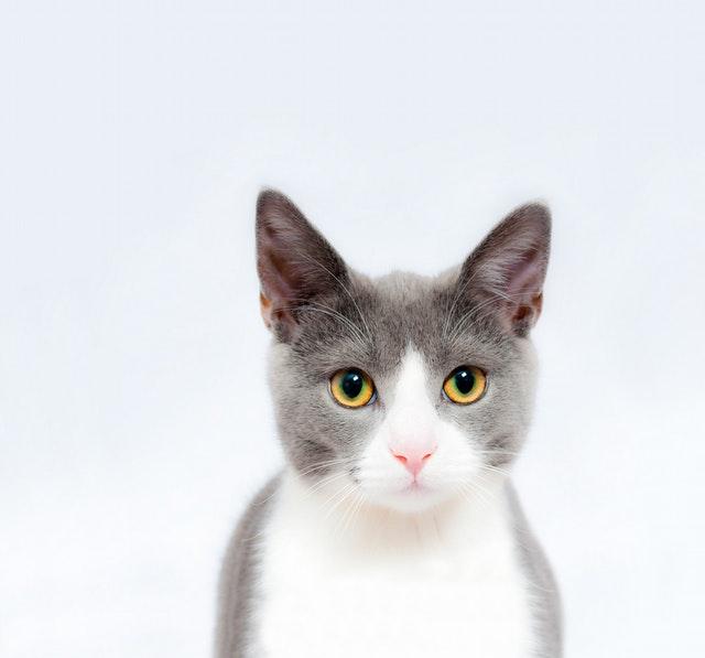 Grå och vit katt